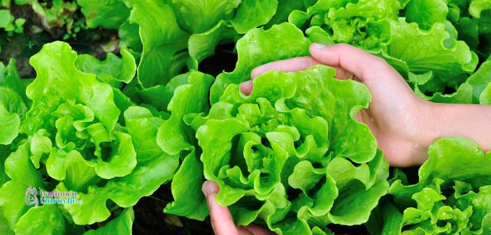 Zelena salata u zdravoj ishrani
